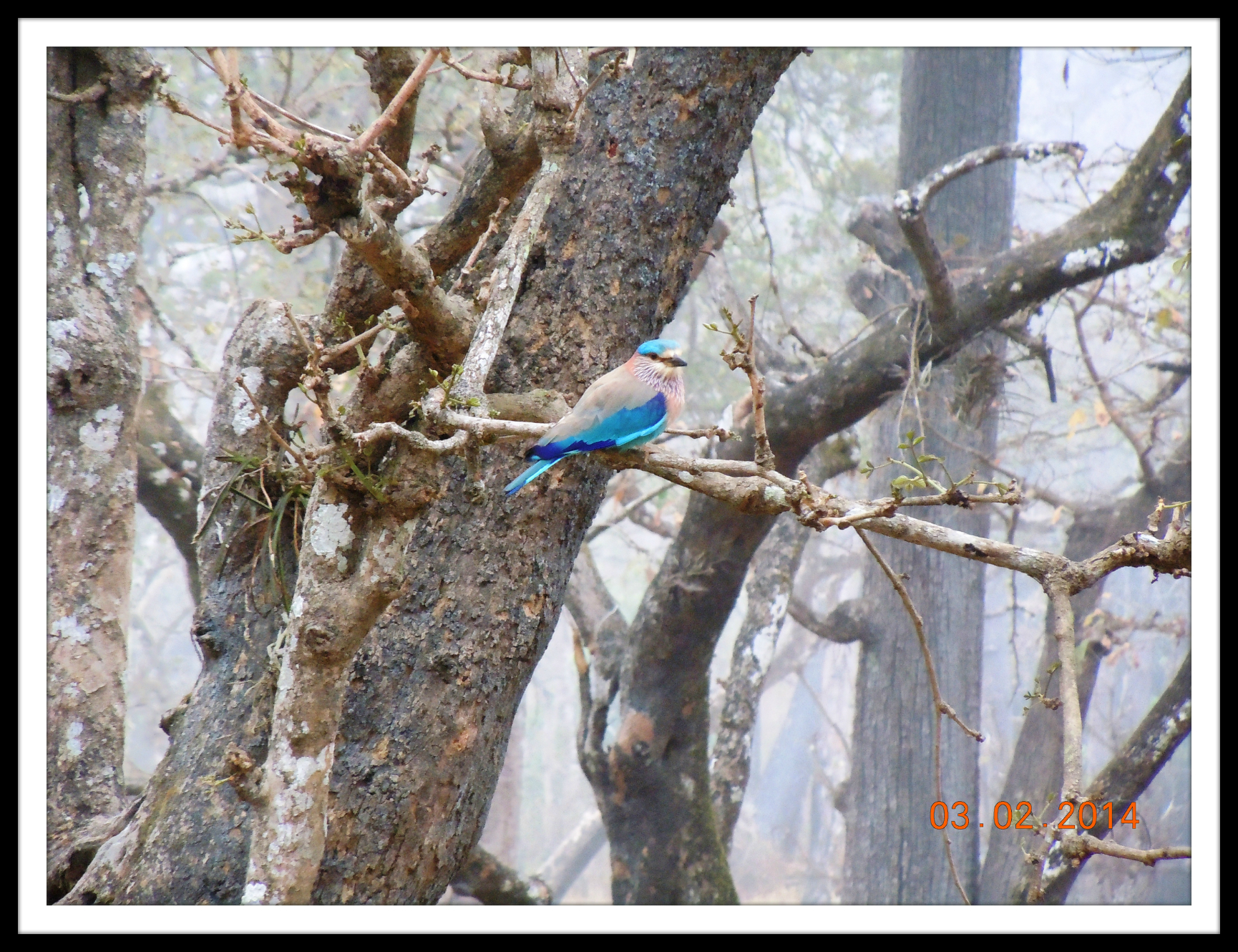 A Blue Jay in Wayanad