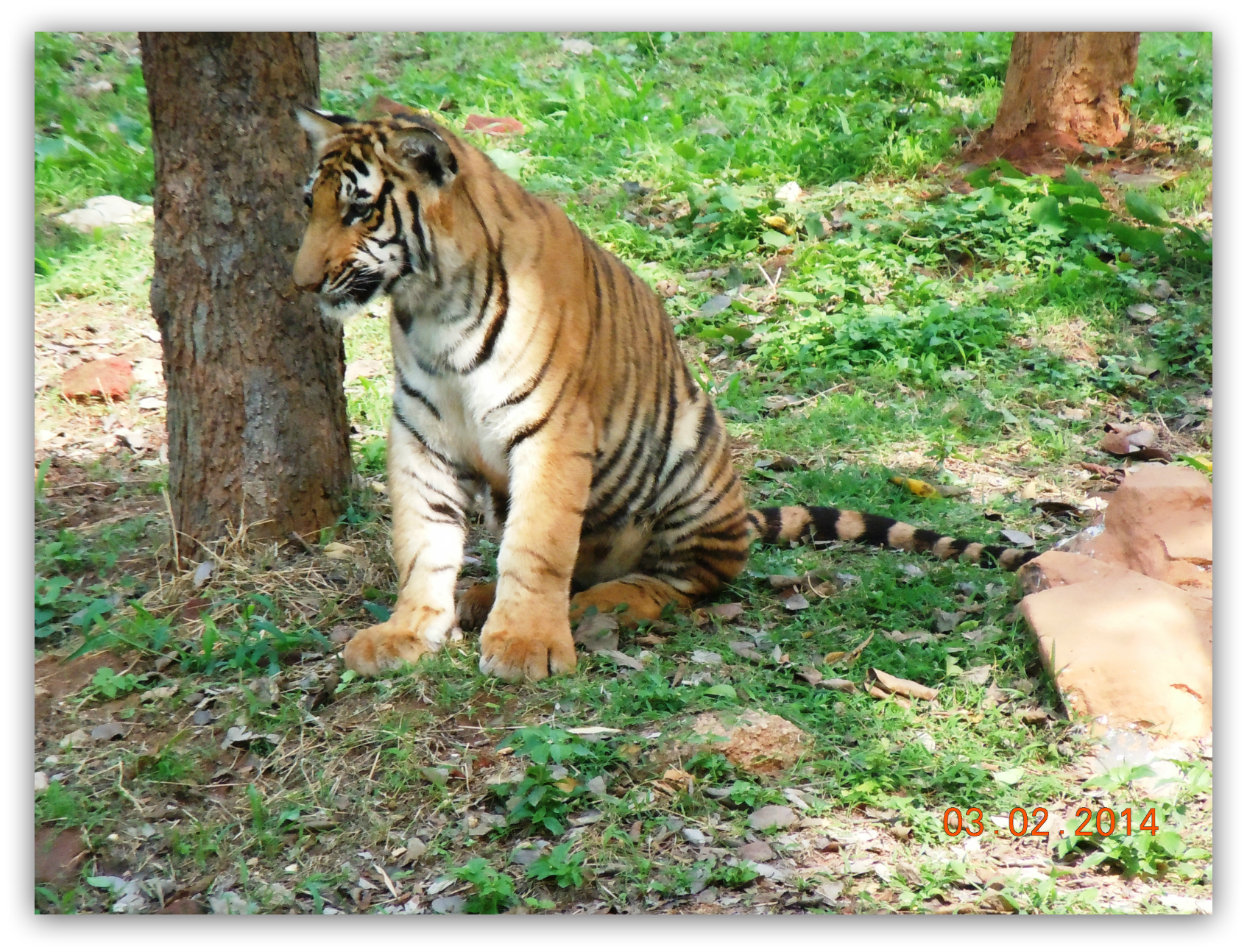 A Tiger Cub at Mysore Zoo