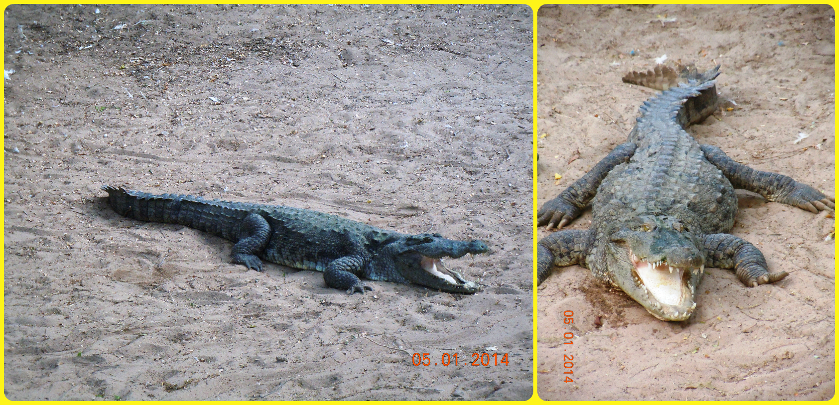 Front and side views of the Marsh Crocodile
