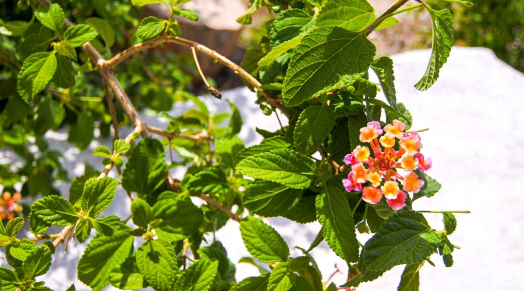 beautiful-lantana