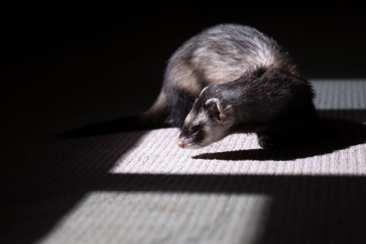 Reasons Why Ferrets Make Great Pets